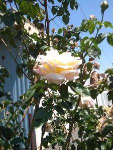 trailer roses