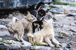 Greenland husky puppies begging food