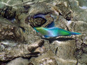 Tropical fish in the Red Sea, Egypt