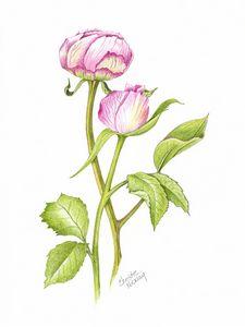 Peony Rose Buds