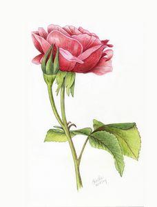 Rose Bud & Bloom