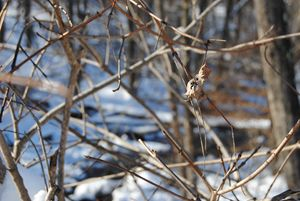 Snowy Branches