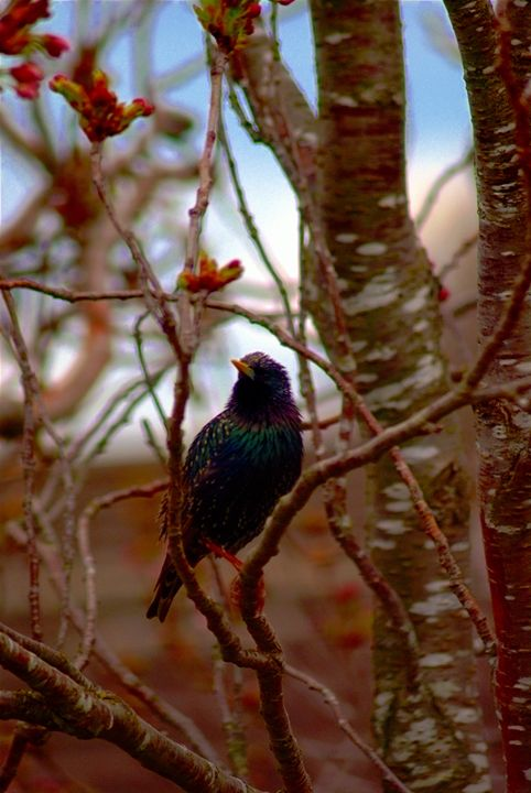 Starling - Adam J Richards Photography