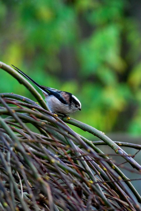 Long-tailed Tit - Adam J Richards Photography