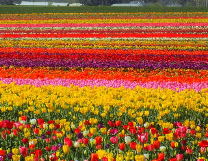 Sea of Tulips -  13.xina