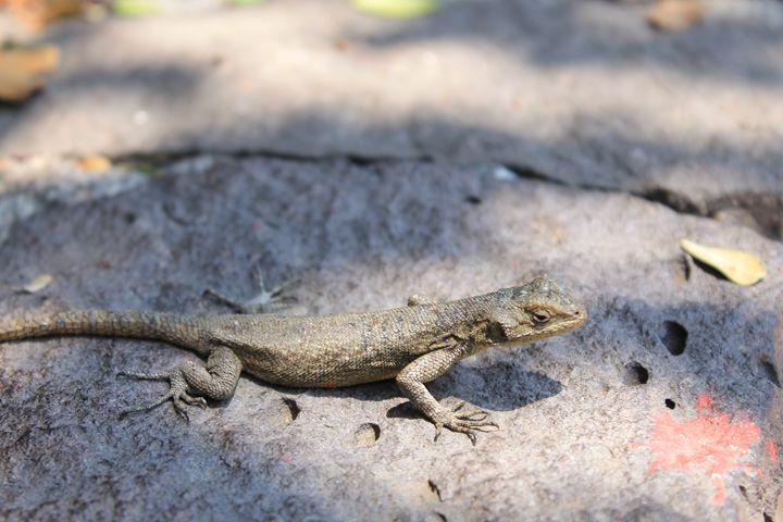 Lizard - Lemo