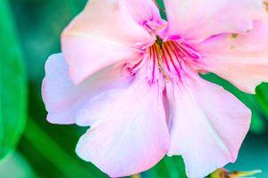 Pink flower. Oleander