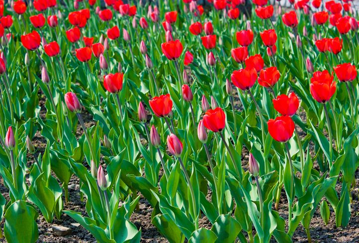 bright red tulips in the city park - Radomir