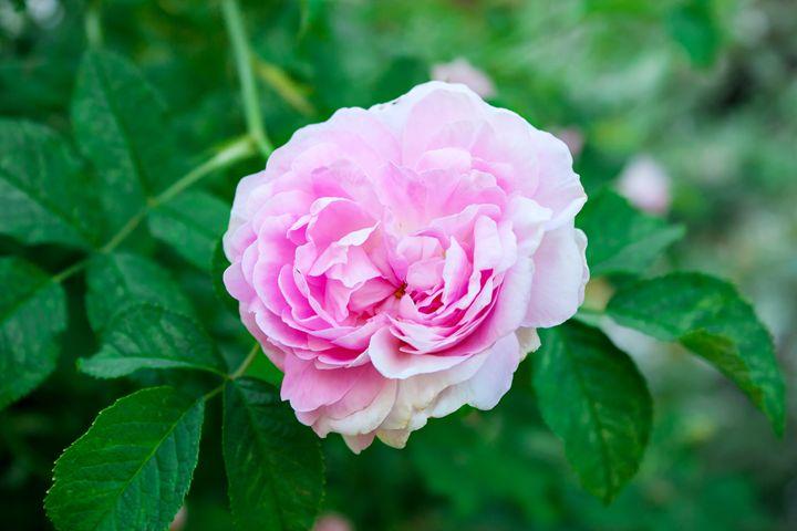 pink rose closeup - Radomir