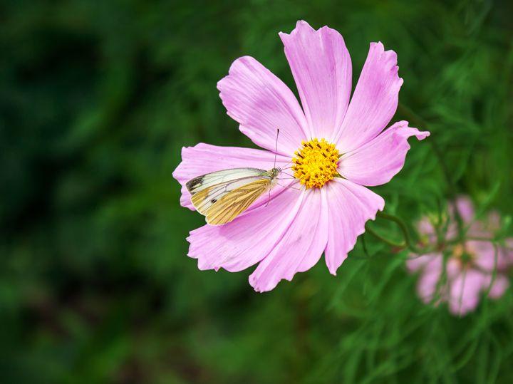 butterfly sitting on a pink flower - Radomir