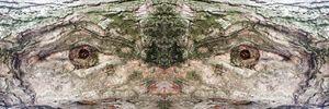 eyes on a tree trunk - Radomir