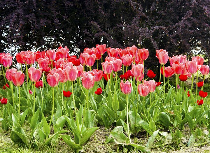 pink tulips on the flowerbed in the - Radomir