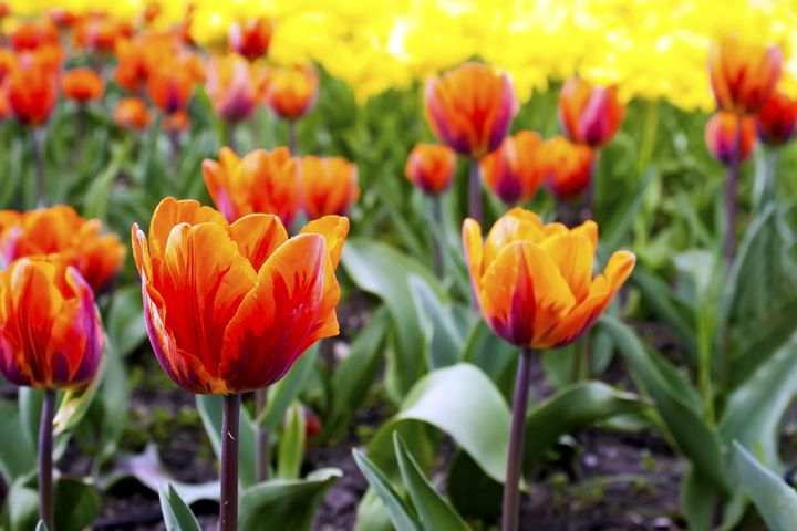 red tulips on the flowerbed in the p - Radomir