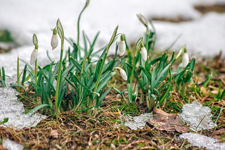blooming snowdrops in the spring - Radomir