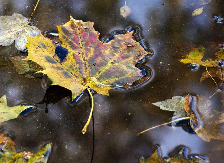 yellow leaf in the pool on sunny aut - Radomir