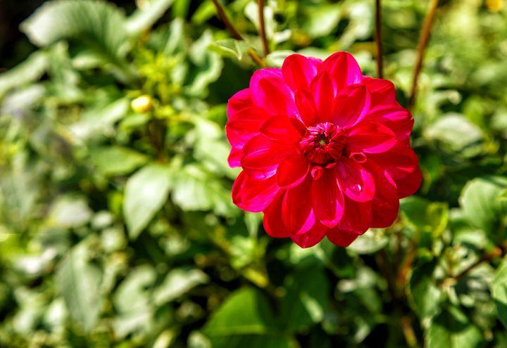 bright red dahlia in the garden - Radomir