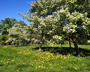 blossoming apple-trees in the city p