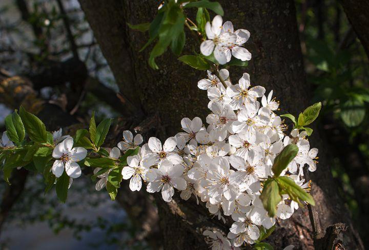 blooming apple tree branch - Radomir