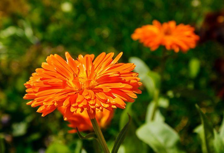 hairy yellow orange calendula flower - Radomir