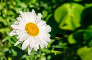 bright chamomile flower in the garde