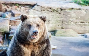 big brown bear in a city zoo