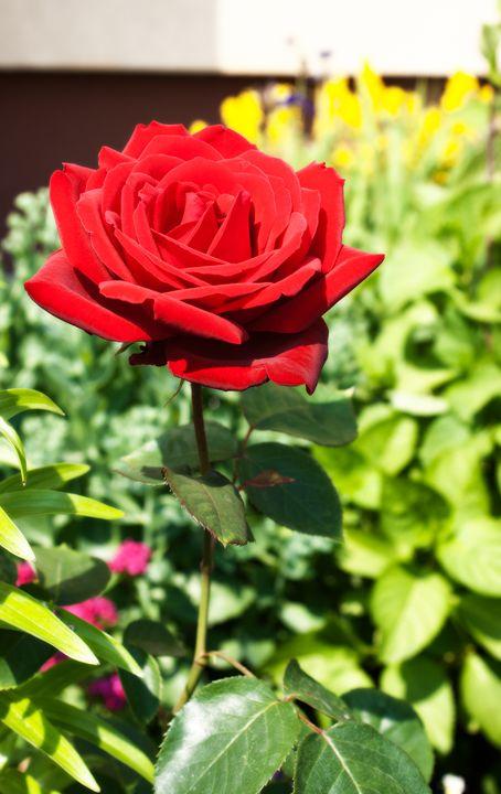 burgundy rose in the garden - Radomir
