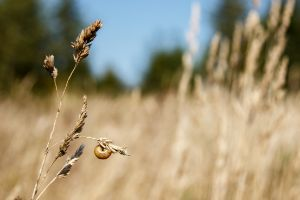 snail sits on a stalk of dry grass