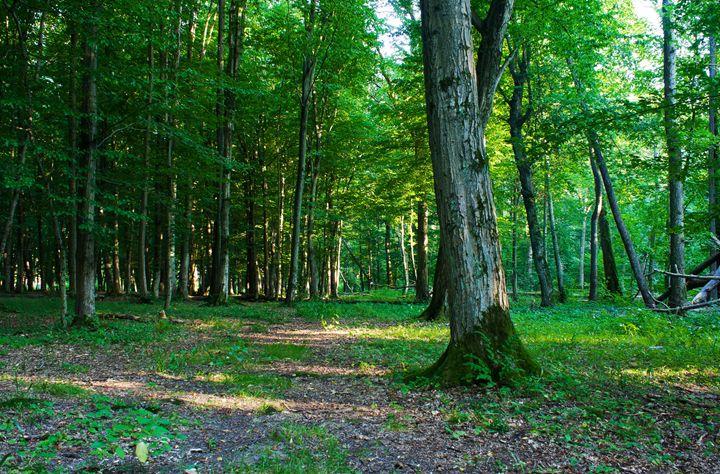 forest landscape in summer - Radomir