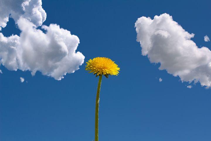 yellow dandelion with blue sky and c - Radomir