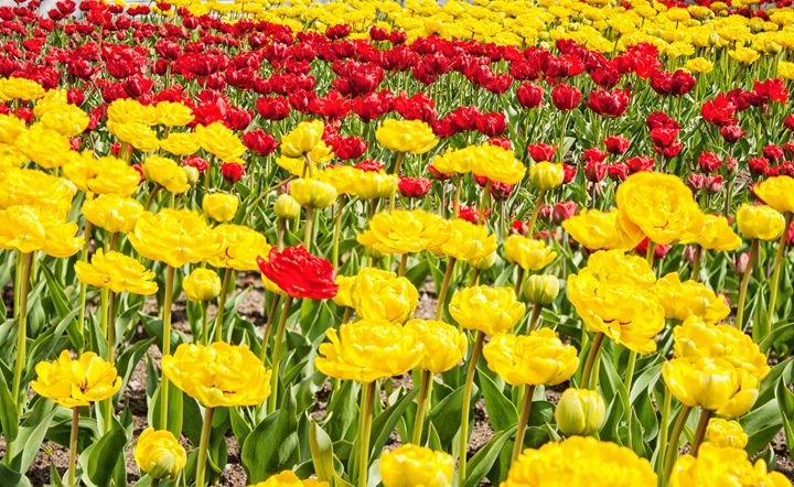 red and yellow tulips growing in the - Radomir