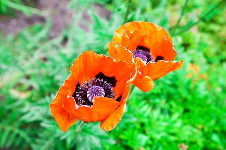 two red poppy closeup - Radomir