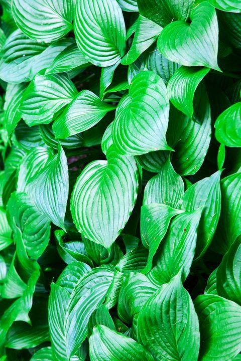 large green leaves closeup - Radomir