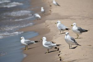 Seagulls Close-up