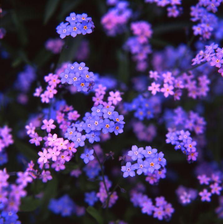 Purple flowers - Hamilton