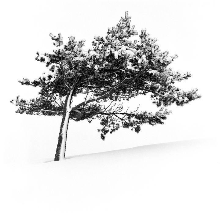 Leaning snow tree - Hamilton