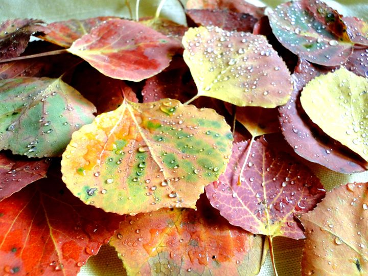 Aspen Leaves 4 - Roxanne Morris