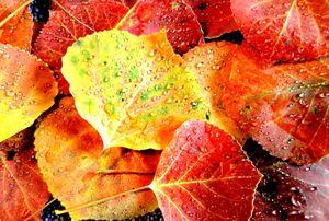 Aspen Leaves 6