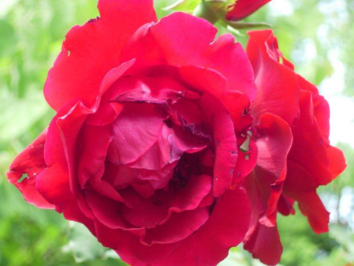 Red Rose - Unique Art