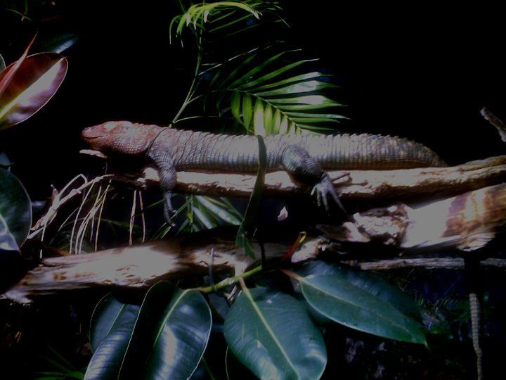 The Lounging Lizard - Unique Art