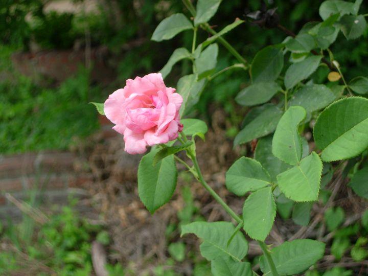 Pink Rose - Unique Art