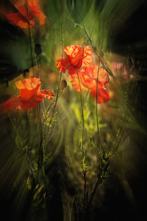 Dark Poppies - Deb Potis Photography