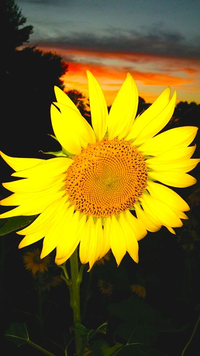 """""""Sunflower at Sunset"""" - Somewhere In Time Paint Mixers"""