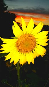 """Sunflower at Sunset"""