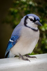Bluejay - GaZoomIn Photography
