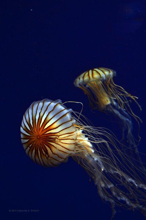 Jellyfish Hello There - GaZoomIn Photography