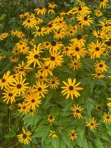 Sunflower Dream