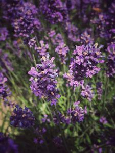 Lavenders - NozePix