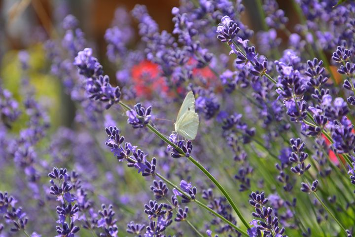 White butterfly on lavender - Mari