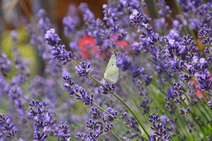White butterfly on lavender - Mari
