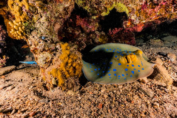 Blue spotted stingray in the Red Sea - photo land